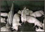 Schweinefleisch; in Produktion