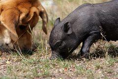 Schweinefütterung ;-)