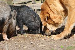Schweinefütterung mit Kamel ;-)