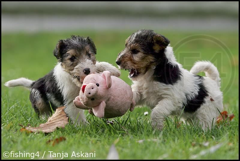 Schweinejagd