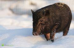 Schweinekalt