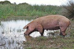Schweineparadis