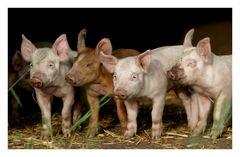 Schweinereihe