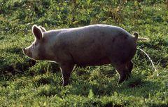 schweinisch......................