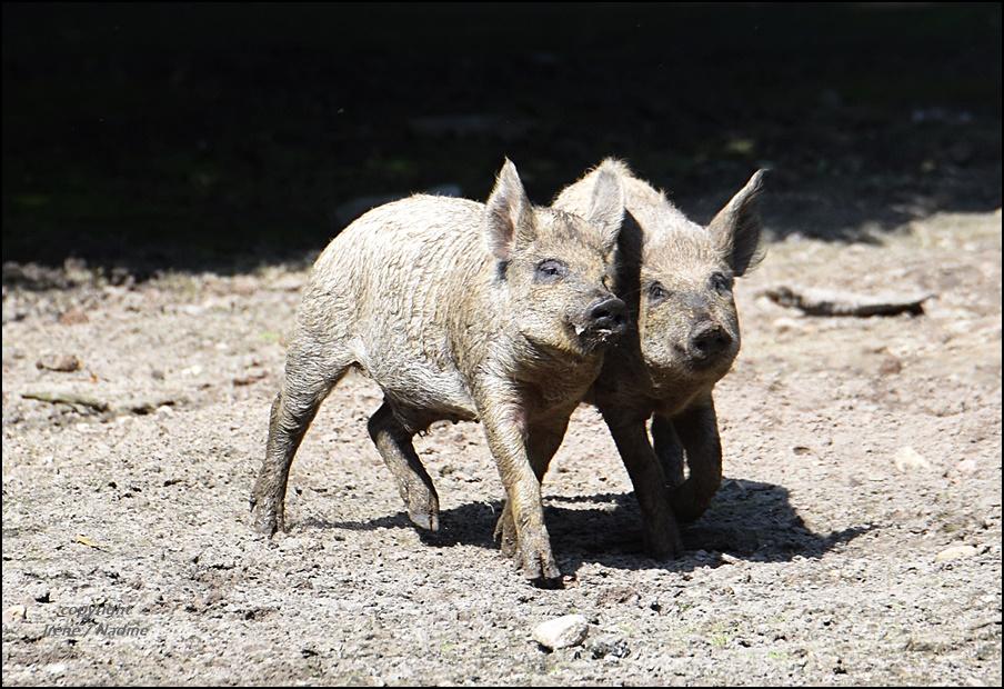 Schweinisches Team !?!?