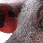 Schweinsauge
