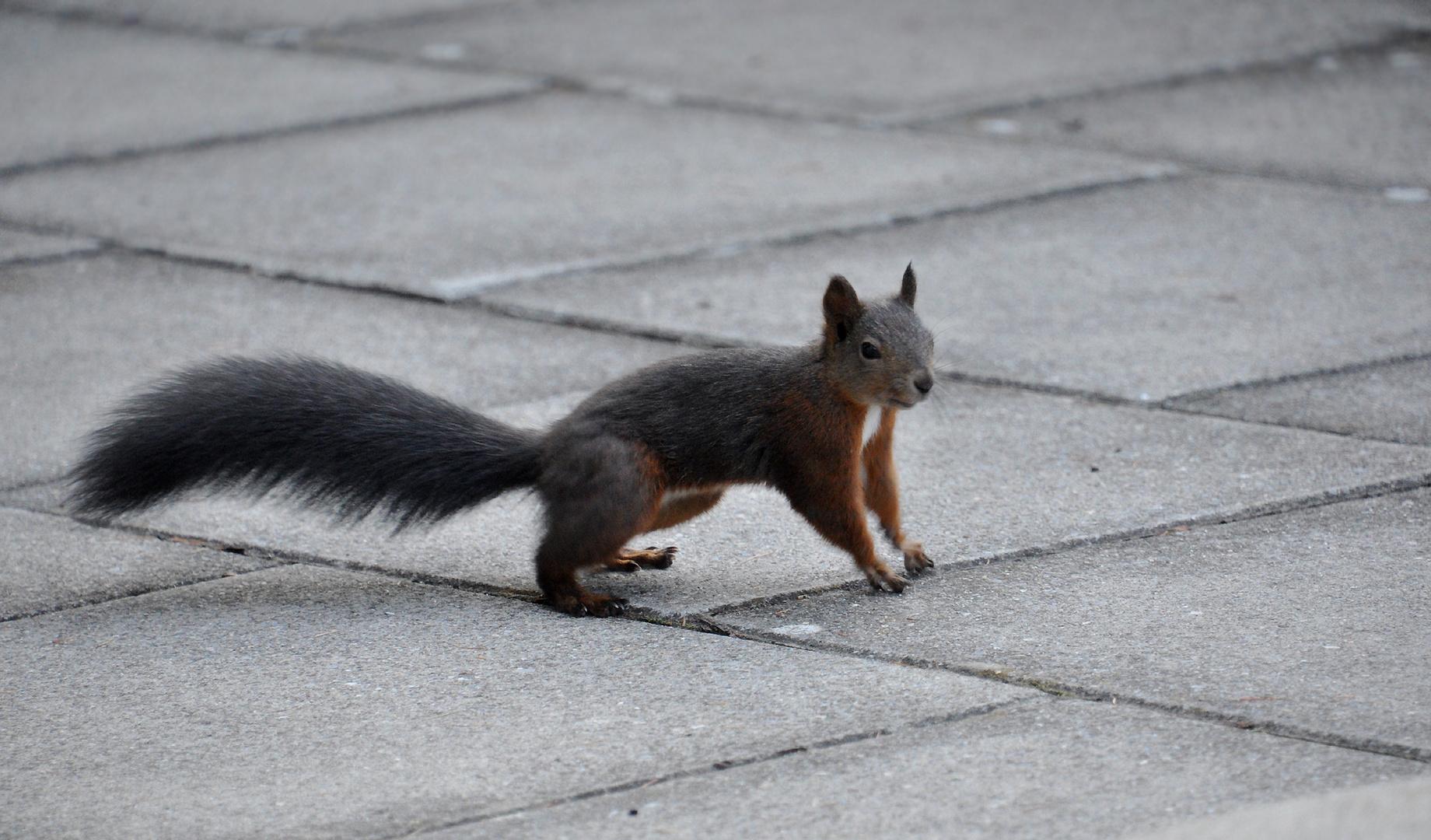 Schweizer Hörnchen