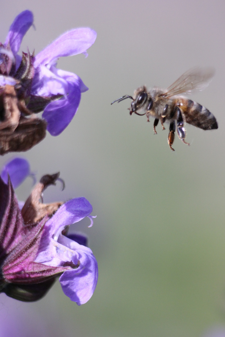 Schwer einzufangen eine anfliegende Biene