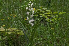 Schwertblättriges Waldvöglein - Cephalanthera longifolia eine Orchidee  in den Bayerischen Alpen...