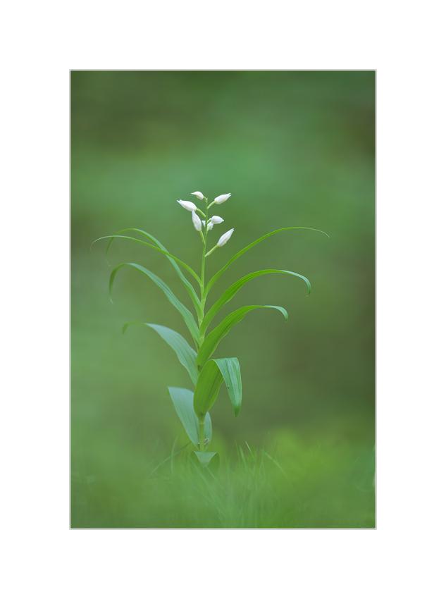 Schwertblatt-Waldvöglein, Cephalanthera longifolia (Orchidee)