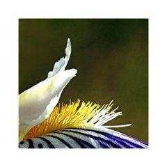 Schwertlilie 2