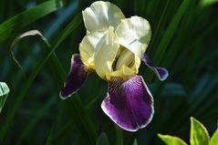 Schwertlilie (Blüte) in Vorfreude auf die Blütezeit aus dem Archiv