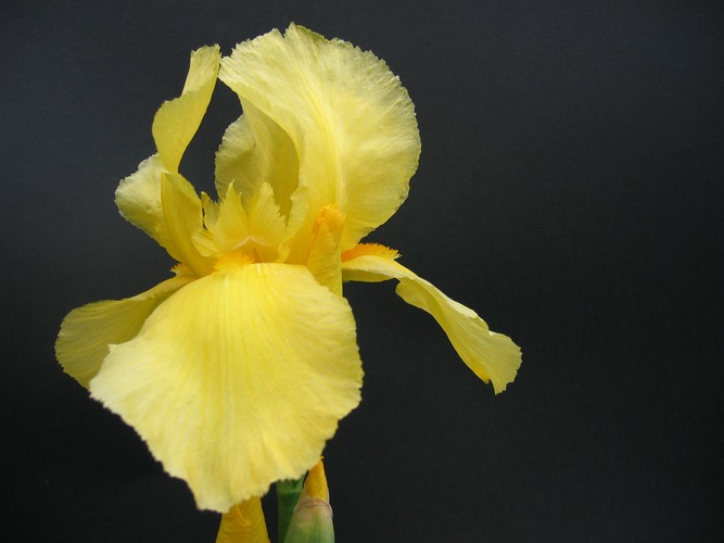 Schwertlilie gelb