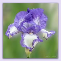 Schwertlilie - Iridaceae