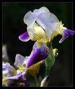 """Schwertlilie """"Iris"""""""