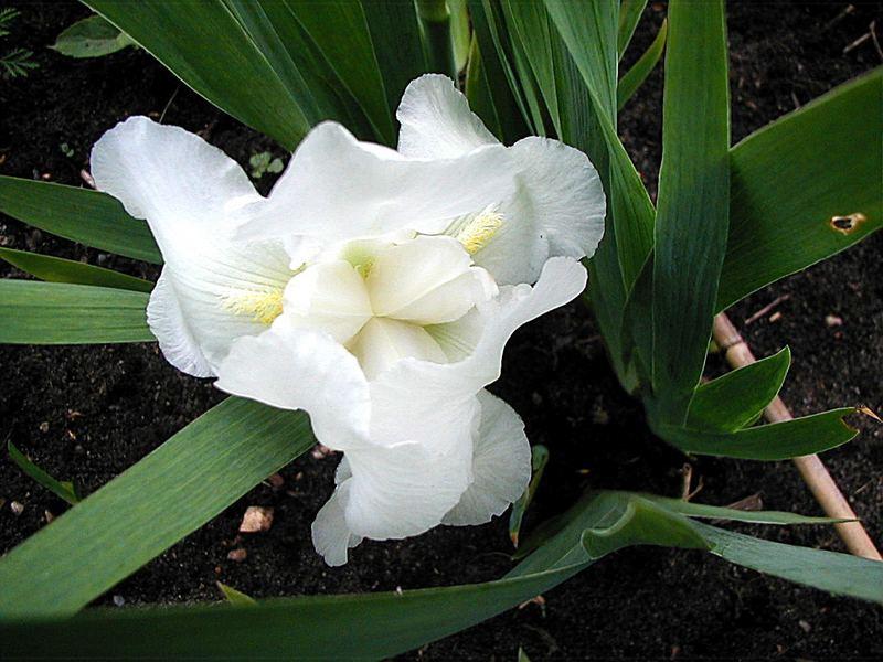 Schwertlilie, weiß
