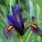 Schwertlilien ( Iris )