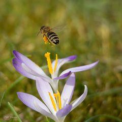Schwertransporter - Westliche Honigbiene
