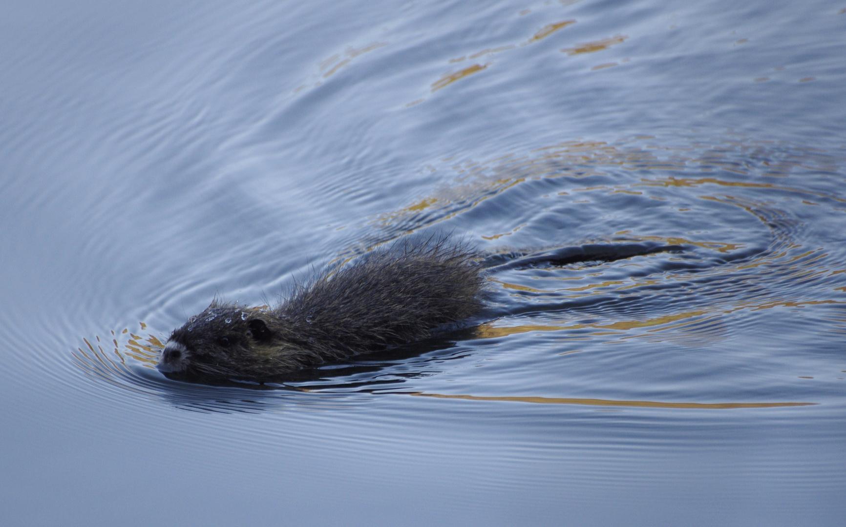 Schwimmausflug (Nutria)