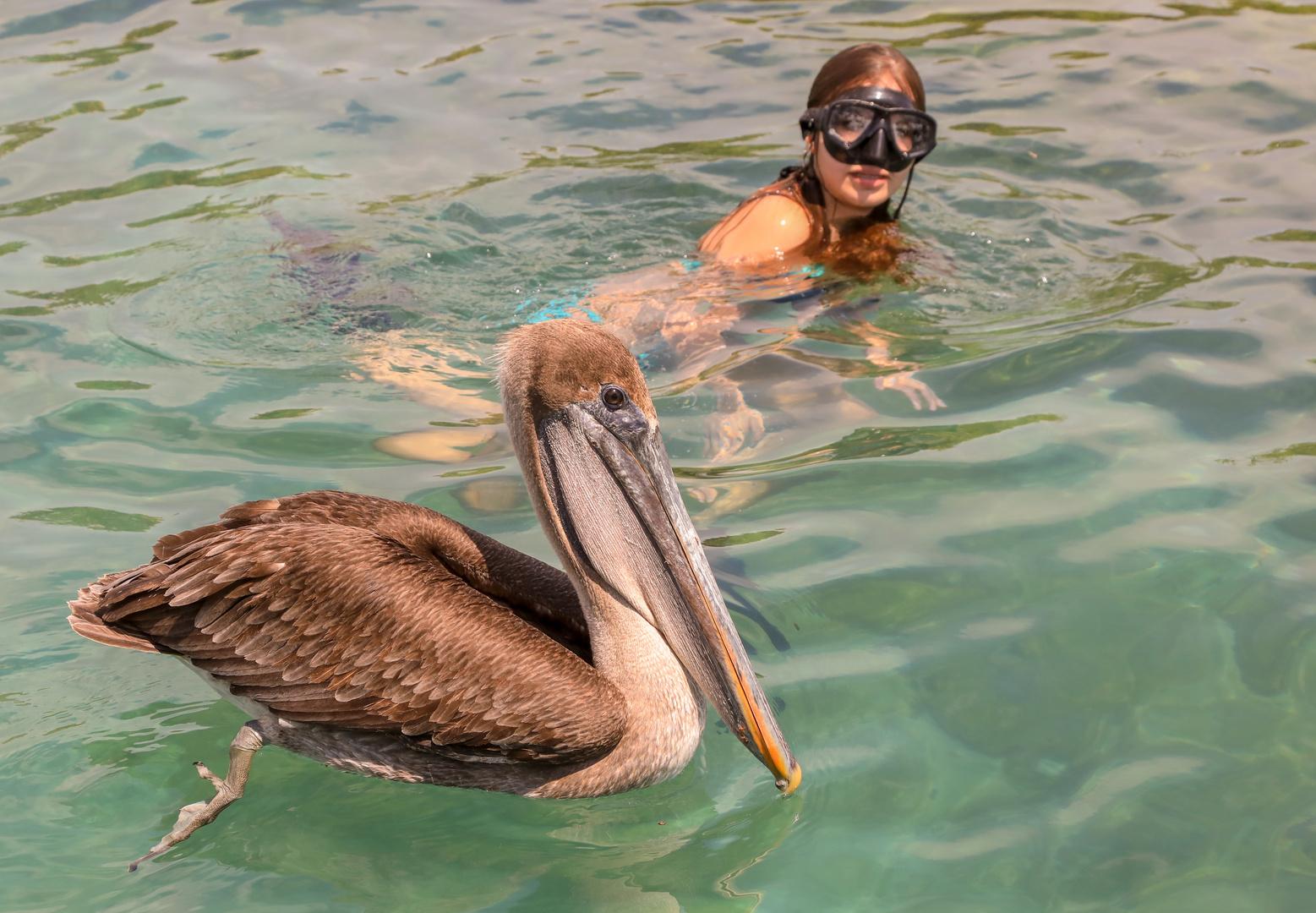 Schwimmen mit wildem Pelikan vor den Galapagosinseln