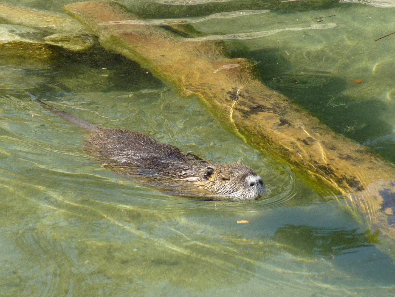schwimmende bisamratte (glaub ich)