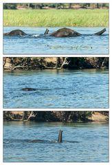 Schwimmende Elefanten im Chobe River