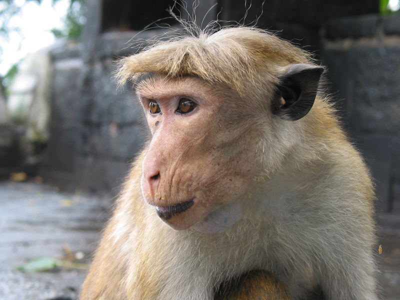 scimmia sri lanka