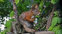 Sciurus vulgaris - Eichhörnchen...