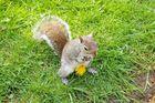scoiattolo in Hyde Parck - Londra