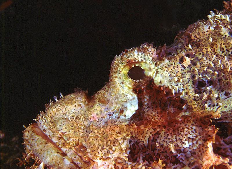 Scorpaenopsis barbatus - close up