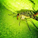 Scorpionsfliegen Weibchen