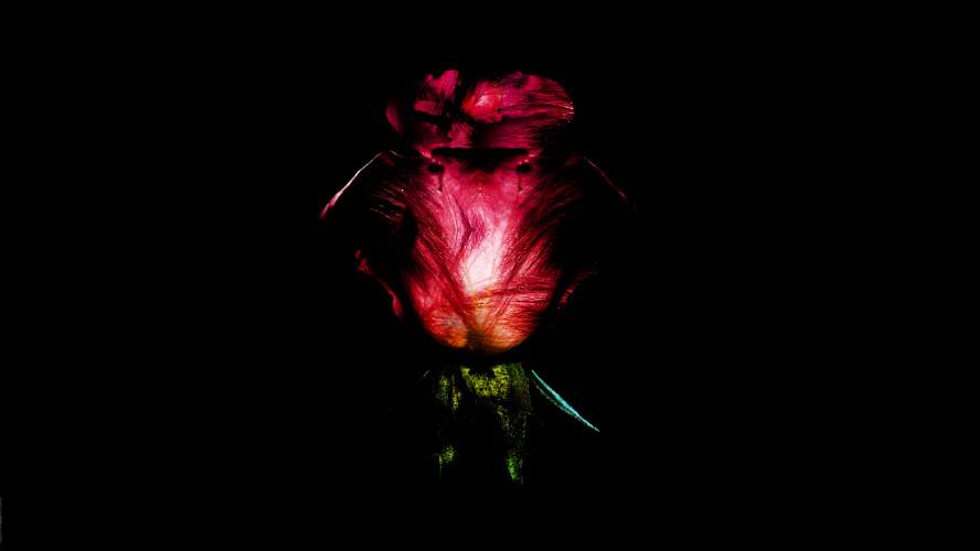scratched Rose
