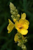 Scrofulariacea - Verbascum thapsus
