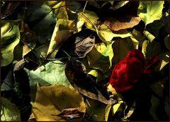 Se io fosi.... una rosa d'autunno...