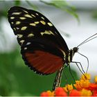 se régaler de nectar /  Nektar schlürfen