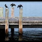 Sea Crows