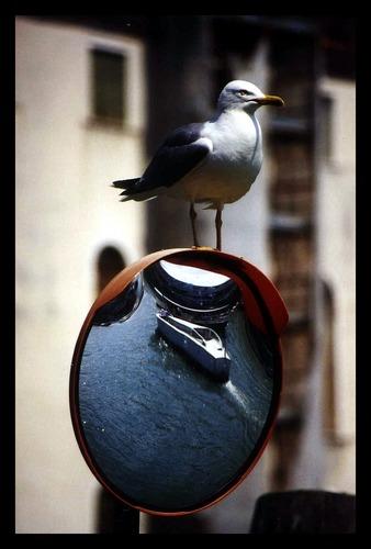 -sea gull-