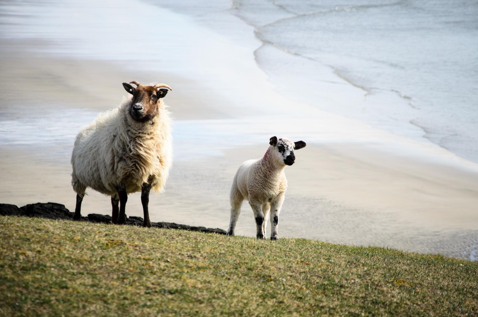 Sea sheeps