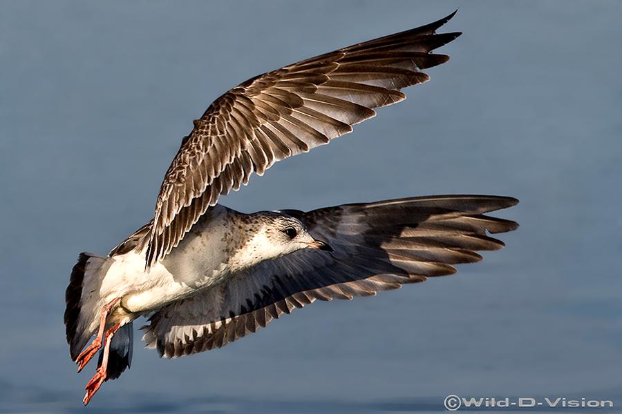 Seagul_Hunting