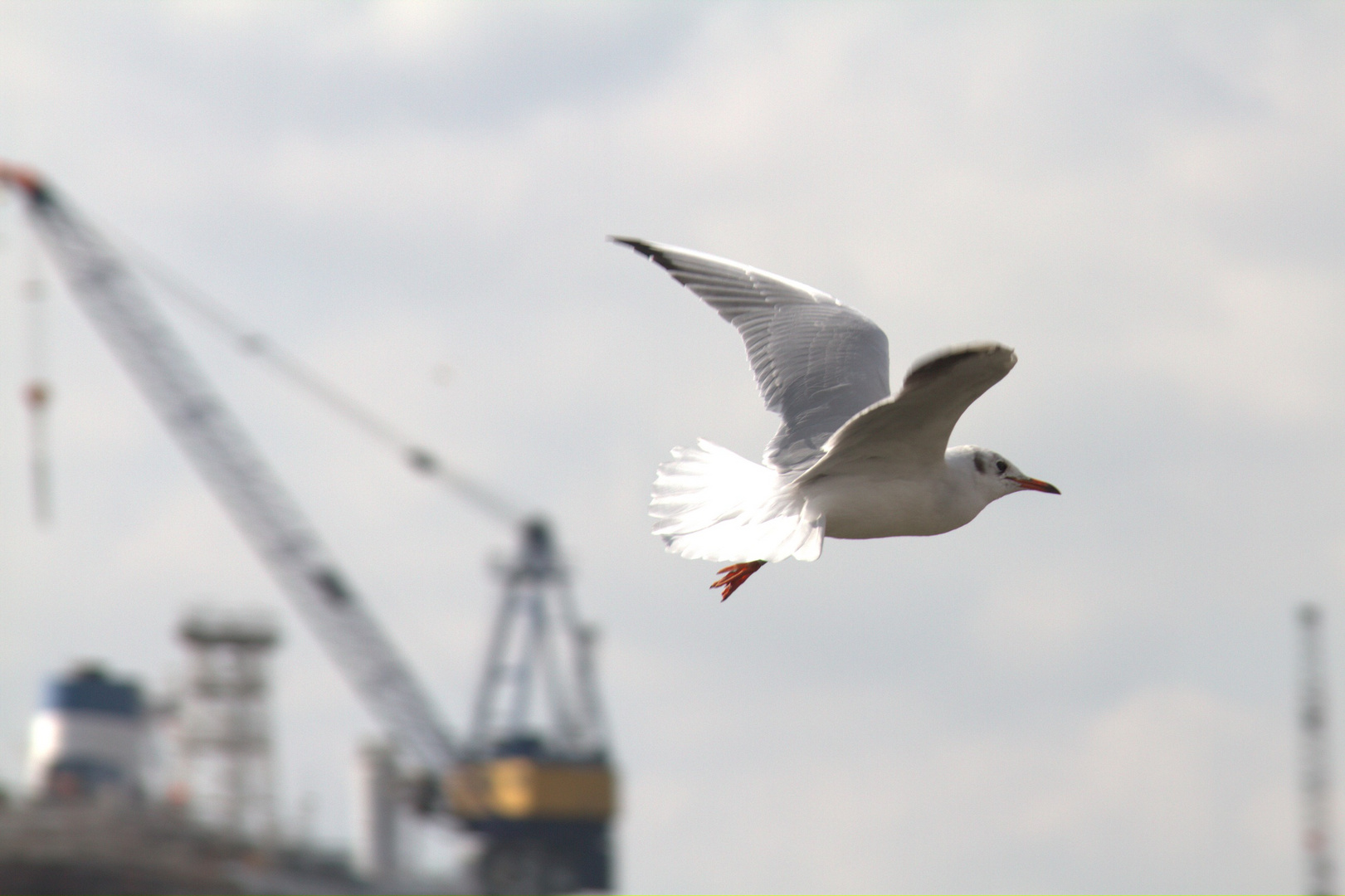 Seagull at Hamburg harbor