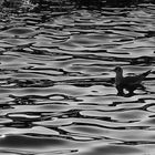 Seagull in black and white reflections