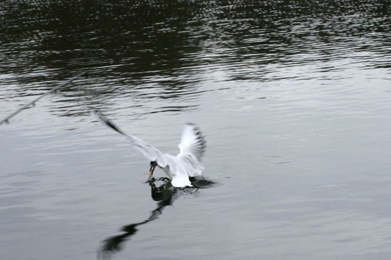 Seagull nicking my bait