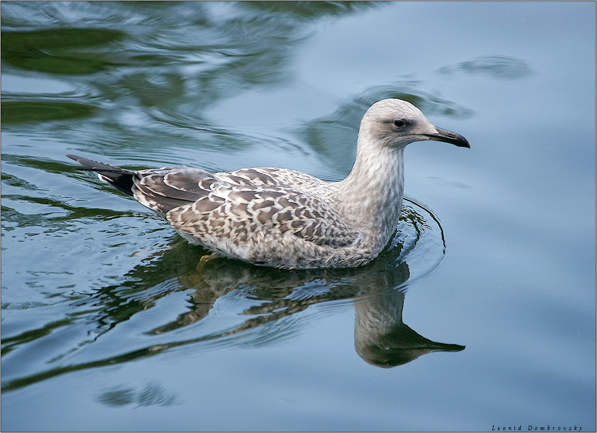 Seagull on shaggy water