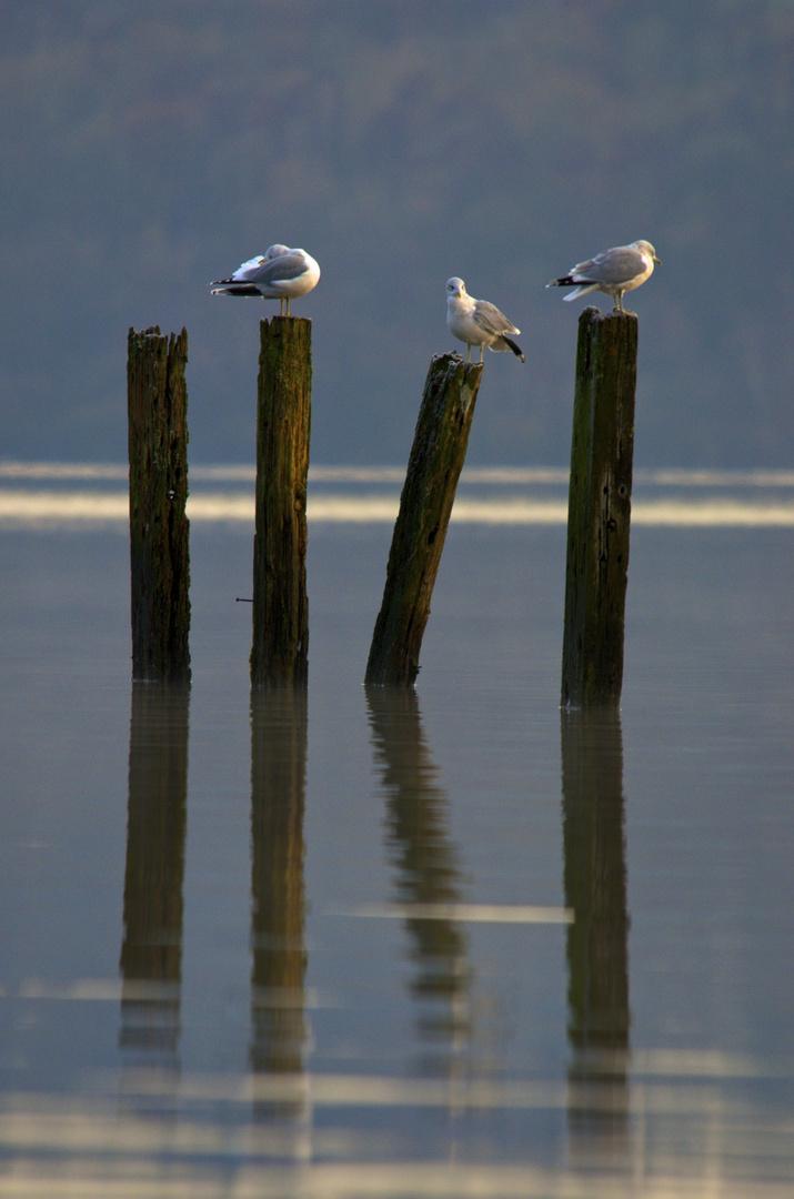 Seagulls at Loch Lomond, Scotland