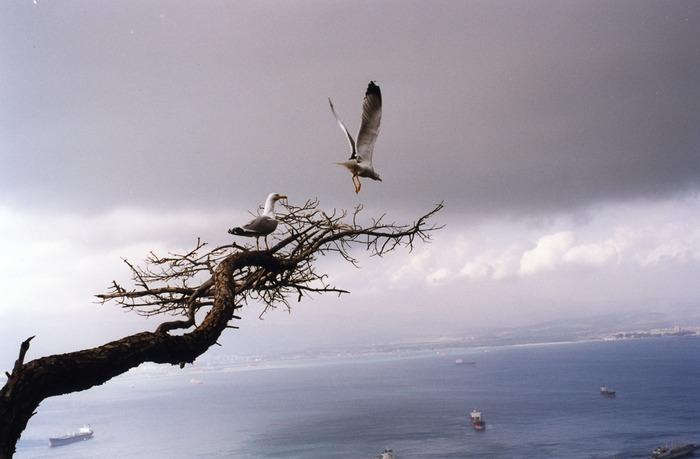 Seagulls in Gibraltar