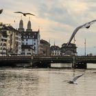 Seagulls of Swiss