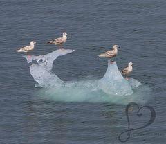 Seagulls on ice floe