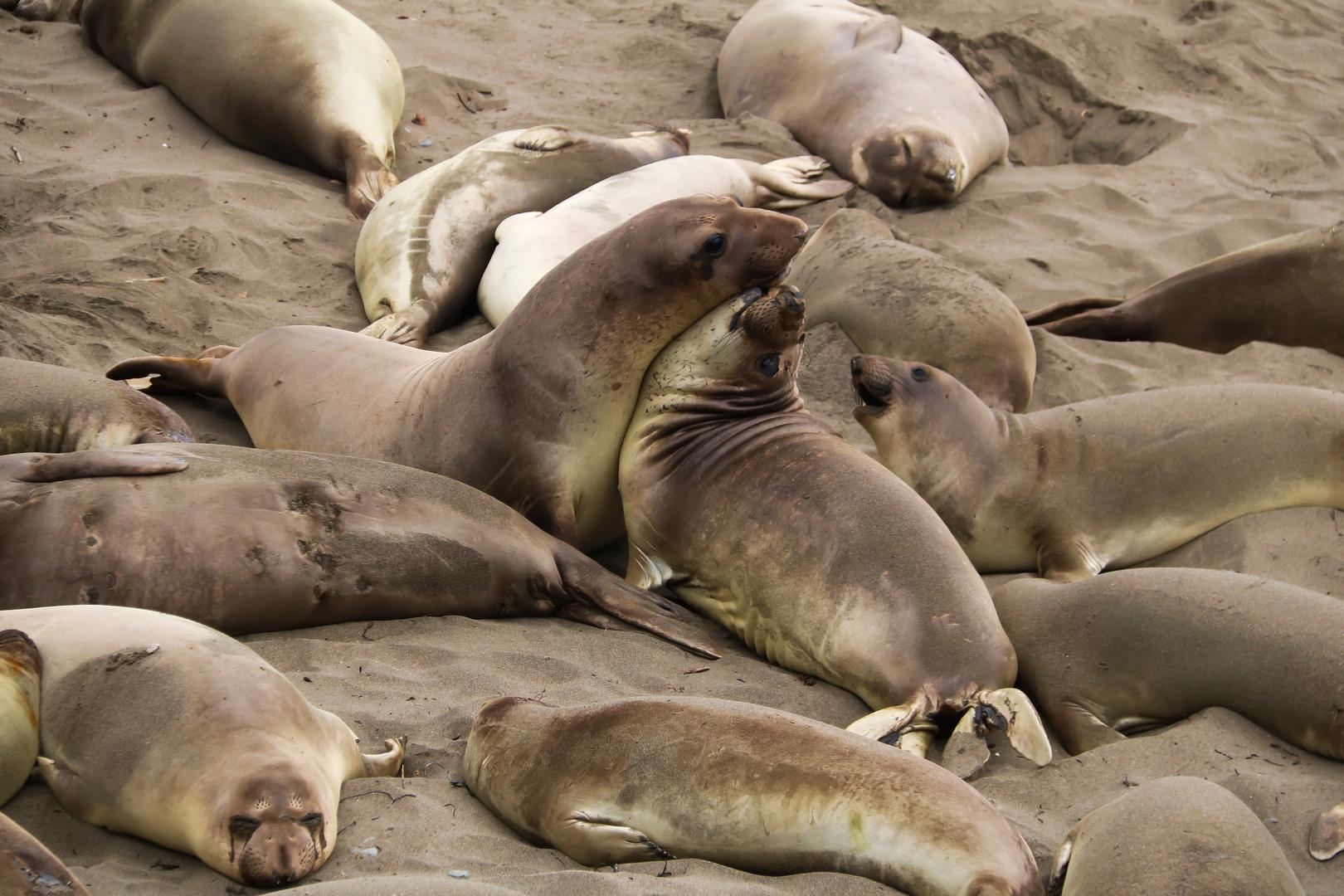 Seals along Pacific coast