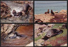 Seals in Neuseeland
