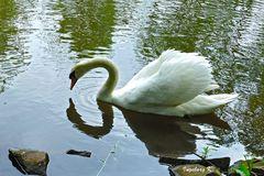 Sebstbildnis eines Schwans - er betrachtet sein Abbild im Wasser neugierig
